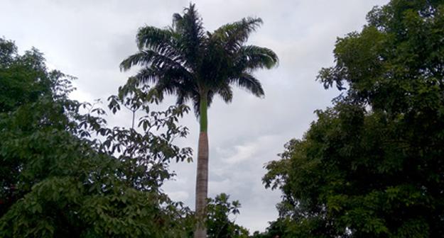 No quintal a exuberância da palmeira e das árvores de diversos tipos