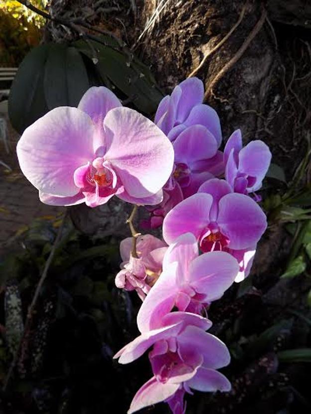 orquidea3